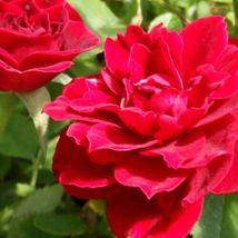 Miniature Rose Live Plants - Red #STR11 - $76.17