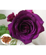 50 Deep Purple Rose Flower Plant Seeds, Rare Exotic Rose Seeds Home Garden - $3.59