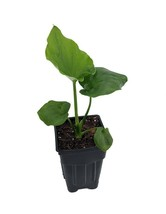 "2.5"" Pot Hope Philodendron - Easy to Grow House Plant - House Plant - tk... - $47.00"