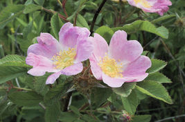 75 Seeds of  EARLY WILD ROSE - Rosa Blanda - $19.00