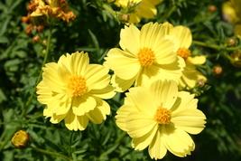 100 Seeds - Cosmos Sulphur Yellow Flower - $3.99