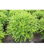 "Chicagoland Green Boxwood Tree Plant - 4"" pot - Buxus - $56.00"