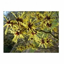 American Witchhazel - 1 Trade Gallon Potted - 1 Plant - Hardy Establishe... - $84.00