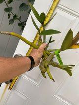 Schomburgkia grandiflora Myrmecophila Species Orchid Plant Blooming 0302j image 4