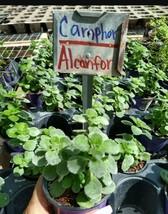 """PLectranthus tomentosa~Camphor Vicks Live Plant 5"""" tall~Planta de Alcanfor - $36.99"""
