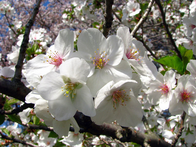 Snowgoose Flowering Cherry Tree