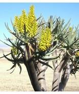 10 Rare Aloe DICHOTOMA - $13.86