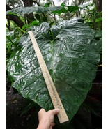 2 Plants - Mary's Giant Elephant Ear / Colocasia / Taro - 1 Gallon Size - $60.00