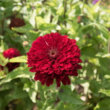 Benary's Giant Deep Red Zinnia Seed, Zinnia Flower Seeds - $21.00