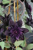 50 Double Purple Clematis Seeds Large Bloom Climbing Perennial Garden - TTS - $29.95