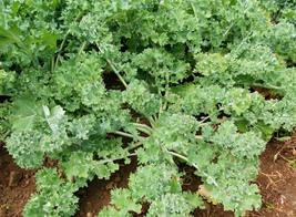 250 Seeds Siberian Kale Seeds NON-GMO - $10.99