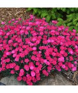 "1 Live Potted Plant - sun dianthus PAINT THE TOWN MAGENTA Carnation 2.5""... - $48.99"