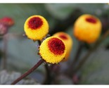 Spilanthes Oleracea - 100g Approx.200000 Seeds - €119,50 EUR