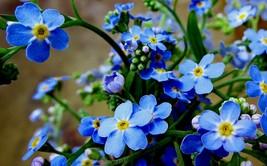 Forget me not Flower Seeds Myosotis scorpioides Seeds Myosotis -20 Seeds - $4.99