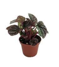 """Silver/Red Ripple Peperomia caperata - 2.5"""" Pot - Easy to Grow House Plant - $28.99"""
