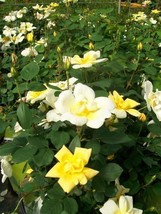 Sunny Knock Out®  Yellow Roses Large 3 Gal. Live Rose Shrub Plant Nice Plants - $53.30