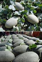 10 Jiashi Cantaloupe Seed Cucumis Melon Saccharinus Crispy Juicy Fruit O... - $13.58