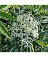 "4"" Pot - Instant Karma Elderberry - Sambucus Yard, Garden & Outdoor Living tkhtg - $56.00"