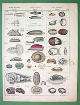 SNAILS Mollusks - Superb COLOR H/C Antique Print - $25.20