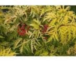 Lemony Lace Elderberry image 2