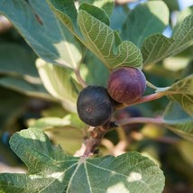 Live plant - Fig - 'Black Mission' - Fruiting Fig Tree - Outdoor Living ... - $40.99