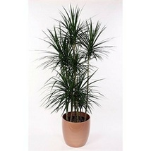 "4"" Pot Dracaena Marginata Madagascar Dragon Tree Easy to Grow House Plant - $52.00"
