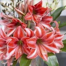 1 Bulb of Amaryllis PAJAMA PARTY, Dutch Hippeastrum, Size 36 - $17.95