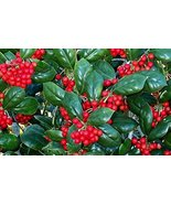 TEN plants Dwarf Burfordi Holly - $51.48