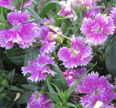 200 SEED Dianthus Chinensis PURPLE DIANTHUS - $4.65
