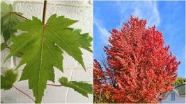 Home Garden Outdoor Living - Celebration Maple qt. pot - $45.99