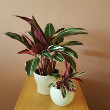 Gallon size~Tricolor Prayer Plant~Stromanthe triostar Live Plant - $36.39