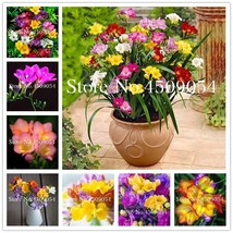 Sale! 100 Pcs Colorful Freesia Flower Bonsai Seedsplants Indoor Potted S... - $2.69