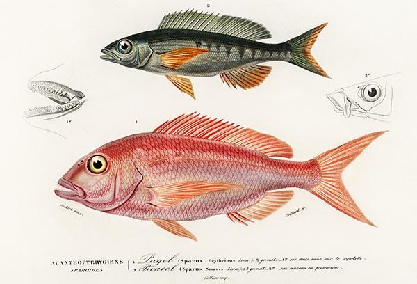Primary image for Common Pandora (Pagel) & Spicara Smaris (Picarel) - Fish Illustration Poster