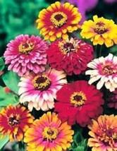 SHIP FROM US 50 Seeds Zinnia Mix Flower,DIY SB Flower Seeds - £23.08 GBP