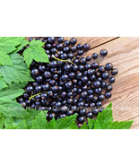 "Consort Black Currant Plants - Delicious Black Berries - Potted - 16"" - 20"" Tall - $15.95"