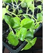 """Krasang Teap"" 3-4"" Plants Of rau cang cua-peperomia pellucida 5 Live  - $20.19"