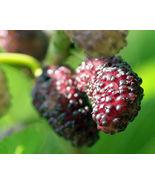 Mulberry Tree Dwarf Everbearing Morus nigra live plant edible fruit - $25.99
