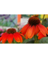 5 Pcs Seeds Orange Coneflower Echinacea Sombrero Series Flower - DL - $16.00