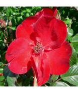 30 Pcs Seeds Rosa Rugosa Rubra Rugrose Japanese Red Rose Bush Flower - DL - $16.00