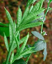 10 Gram Cyamopsis tetragonoloba cluster bean seeds Gaur vegetable seeds - $39.99