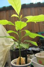 Avocado Tree Seed (pit) also known as Pear butter fruit butter pear  image 2