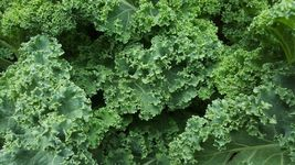 SHIP FROM US 1000+ KALE DWARF SEEDS AUTUMN VEGETABLE COLD HARDY NON-GMO ... - $12.00