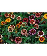 40 Mixed Zinnia Aztec Flower Seeds - $8.99