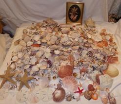 Huge Lot Sea Shells 550 pcs 16 lbs Starfish Sand Dollar Whelk Urchin Conch - $44.48