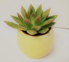 """Miranda Succulent in Yellow Self-Watering Pot - Live Plant Echeveria 3"""" Planter image 5"""
