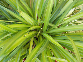 Spider Plant pups Green Airplane Air Plant for Hanging Basket or Garden - $95.00