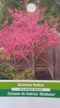 4-6 FT Oklahoma Redbud Flowering Tree Plant Trees Shipped To All 50 States USA - $96.95