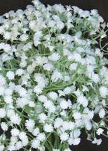 600pcs Very Admirable Gypsophila Snowflake Flower Seeds IMA1 - $25.96