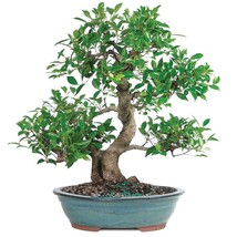 Golden Gate Ficus Bonsai Tropical Beauty Indoor Bonsai 20 Years old Best... - $368.23