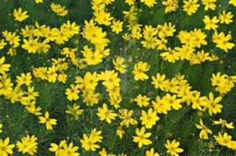 15 Giant Yellow Coreopsis Seeds-1055 - $2.98